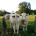 牛..在看我..