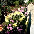 愛花的婆婆家--每天喝完咖啡就會經過這裡欣賞她的花