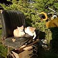 在鋤草機上睡午覺的貓