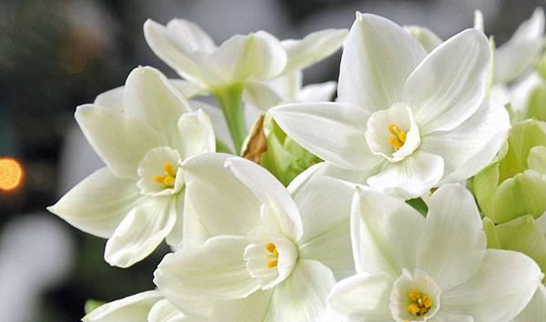 水仙球莖 tazetta lily bulb.jpg