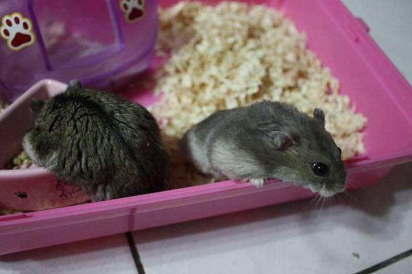 兩隻可愛的趴趴鼠