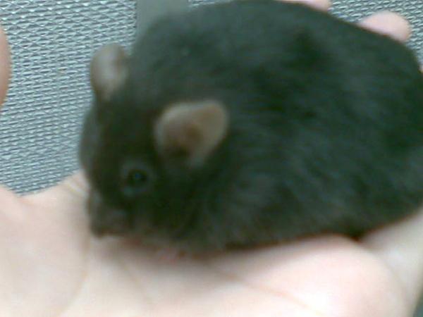 胖嘟嘟的可愛糖尿病鼠
