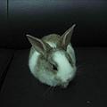 雷達耳朵不是純種兔