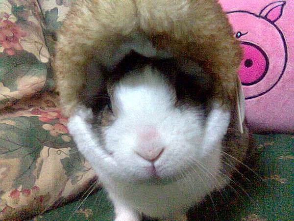 愛斯基摩兔