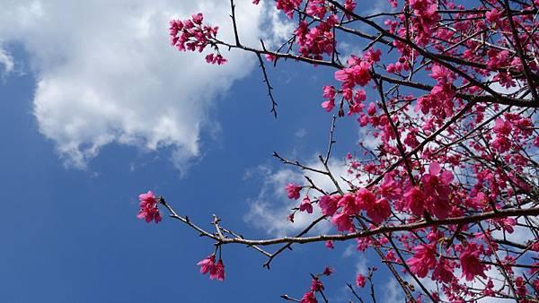 櫻花真的好討喜