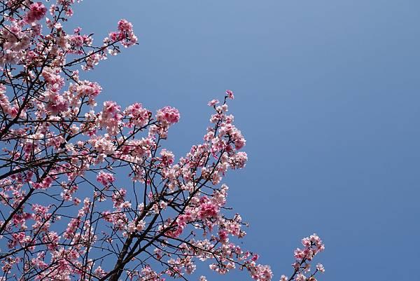 粉紅色的比山櫻花更美