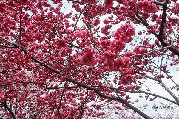 02_2015台中櫻花.JPG