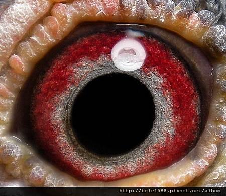 老麥克斯136斑♂ 眼