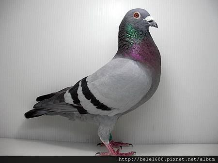 莊瑞生鴿系