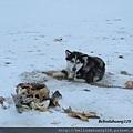北極圈地帶的狗兒
