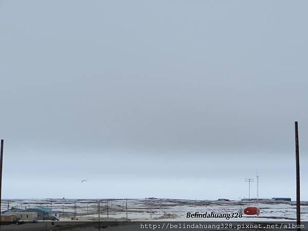 北極圈地帶飛鳥飛翔2013.05.27