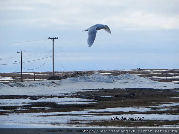 北極圈的海鷗1