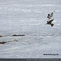 北極圈的雀鳥2