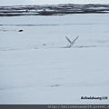 北極圈的海鷗3