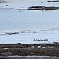 北極圈的海鷗4