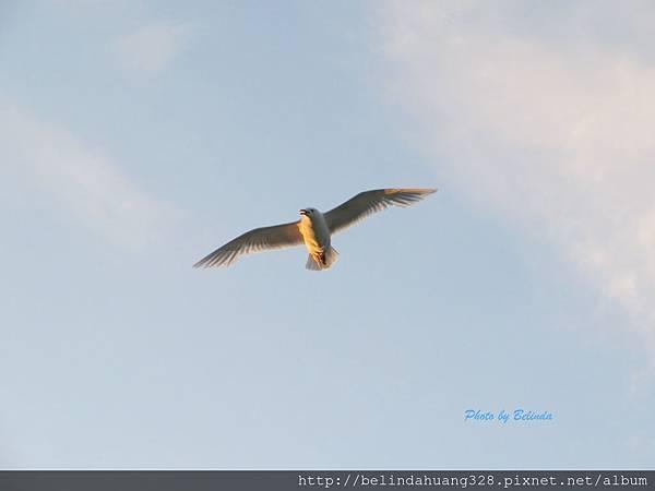 北極圈地帶海鷗