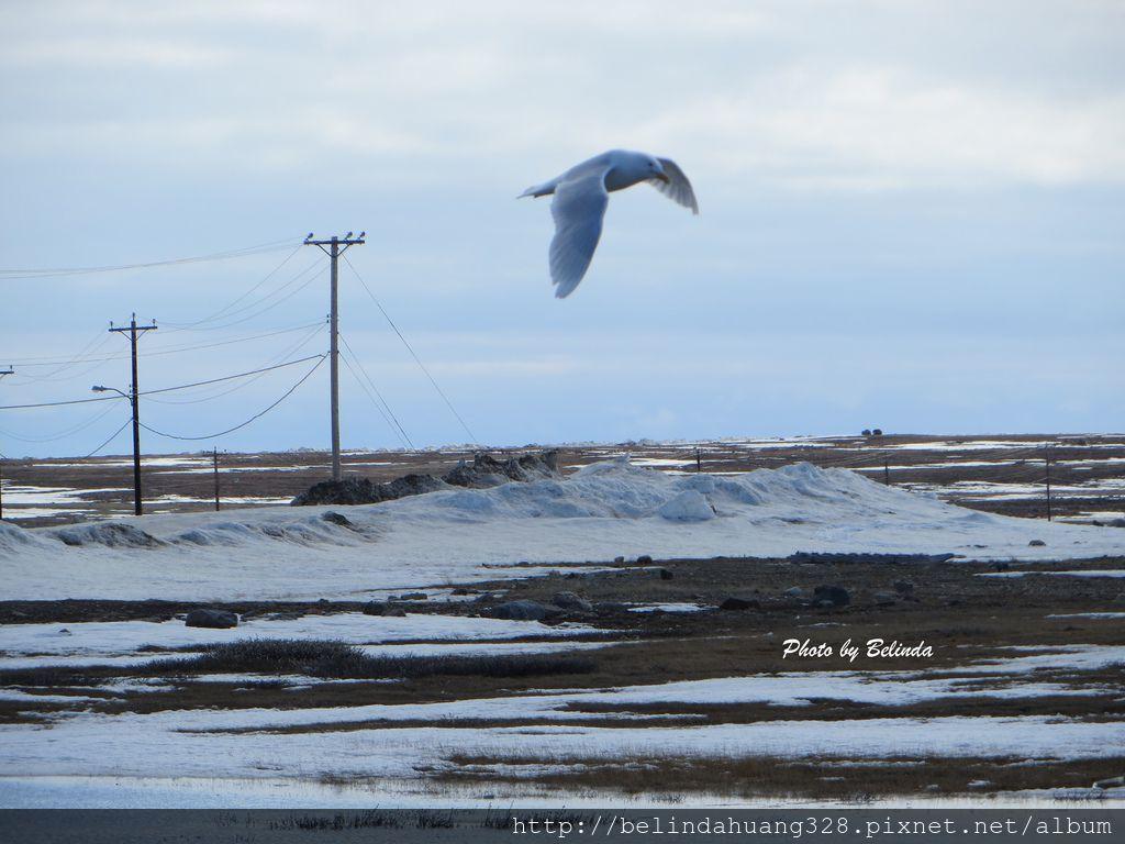 北極圈地帶的飛鳥