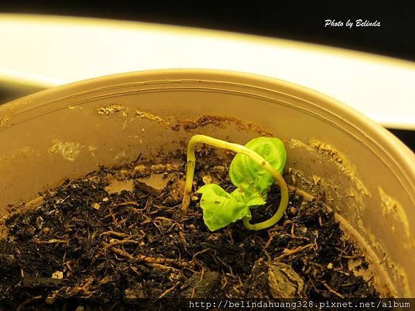 綠色的蘿勒小盆栽3