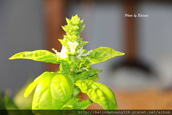 室內栽種的蘿勒盆栽開花了1