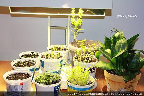 室內香草蔬菜盆栽1