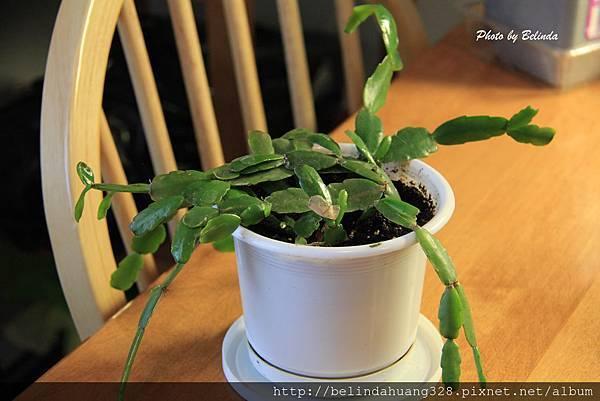 20140403聖誕節期開花的聖誕仙人掌(螃蟹蘭) Christmas Cactus