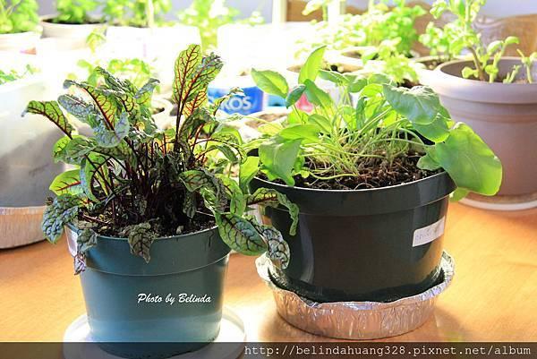 草本植物Sorrel