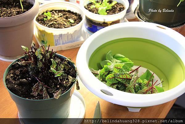 草本植物Sorrel-1