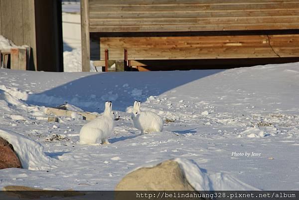 北極野兔Arctic hare~1