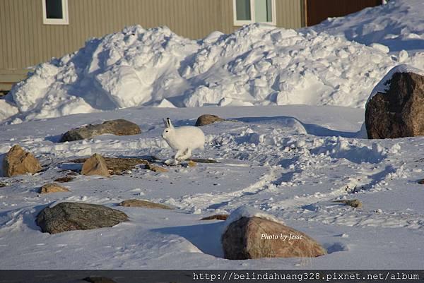 北極野兔Arctic hare~3