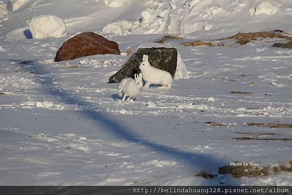 北極野兔Arctic hare~4