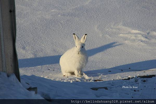 北極野兔Arctic hare~5