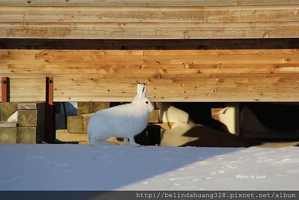 北極野兔Arctic hare~6