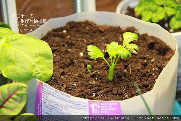 西芹根部再種植Re-growing Celery~1