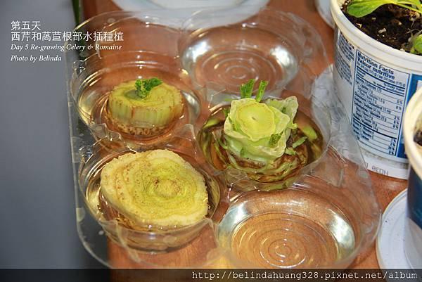 西芹和萵苣根部再種植Re-growing Celery& Romaine