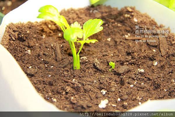 西芹根部再種植Re-growing Celery~5
