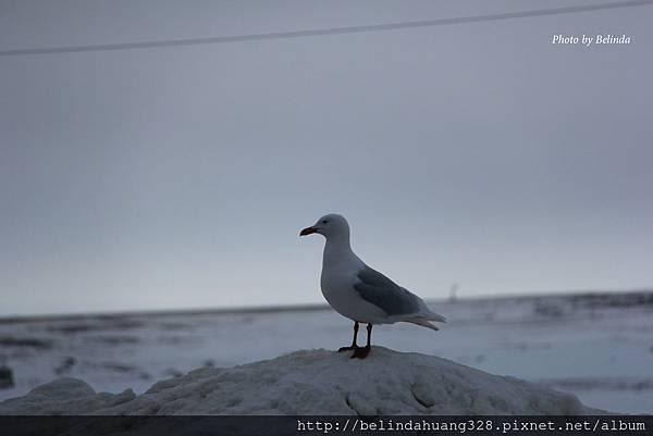 北極圈地帶的貴客-海鷗Seagull~1