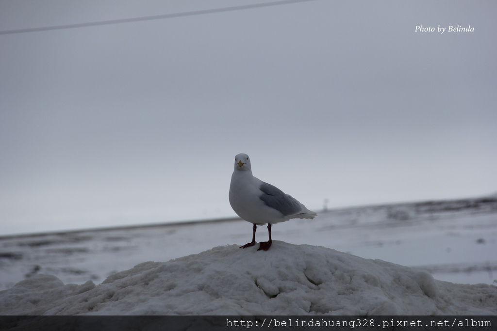 北極圈地帶的貴客-海鷗Seagull~2