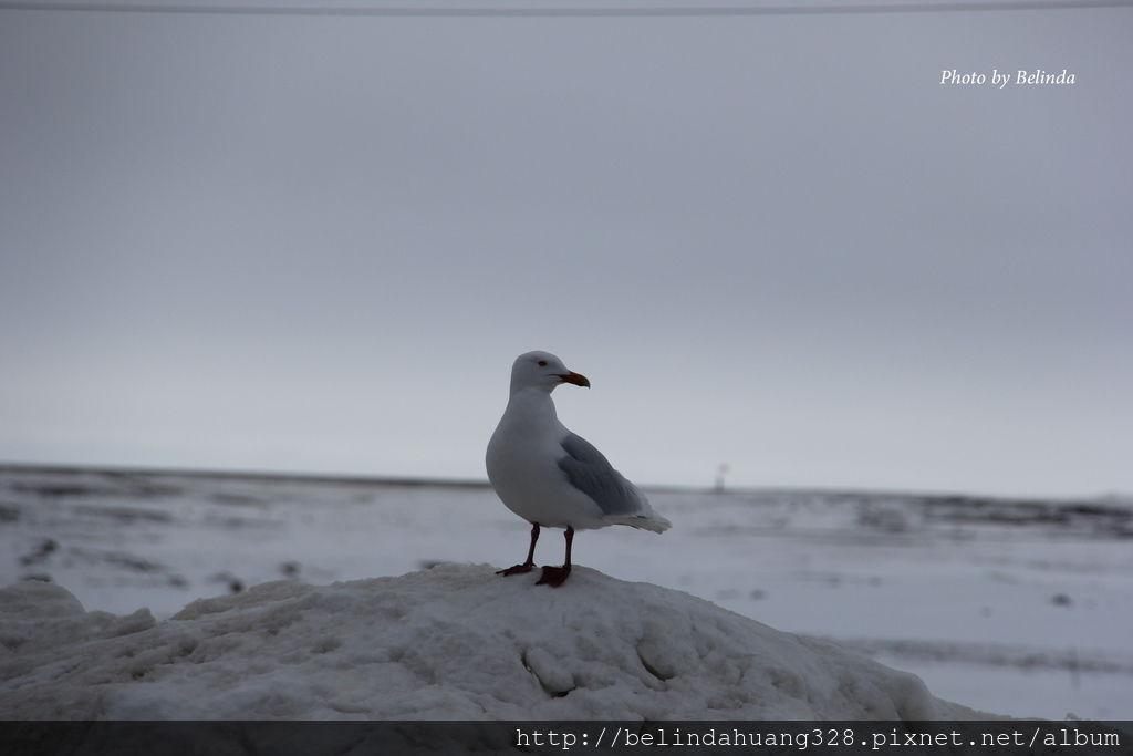 北極圈地帶的貴客-海鷗Seagull~3