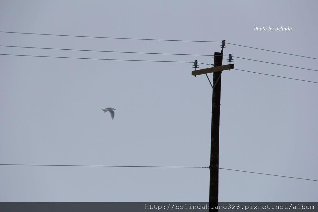 北極圈地帶的貴客-海鷗Seagull~4