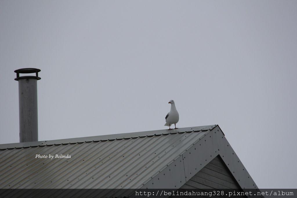 北極圈地帶的貴客-海鷗Seagull~5