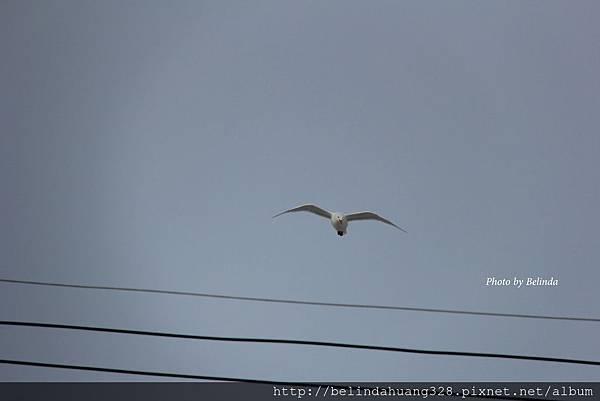 20140526北極圈地帶海鷗飛翔