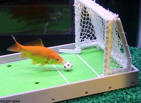 the smart fish Einstein play football.jpg