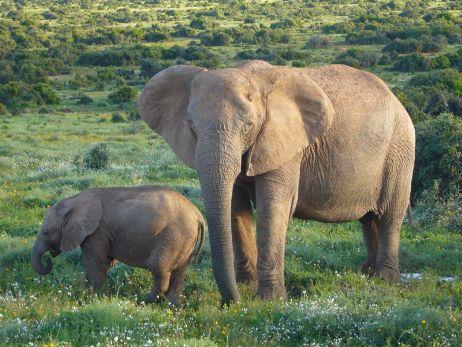 african-elephant.jpg