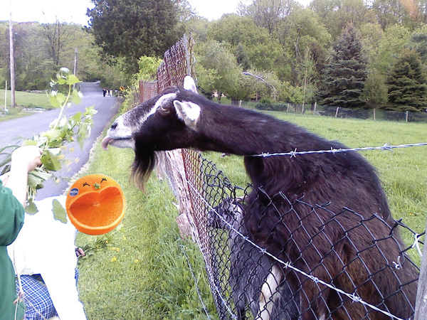 goat7.jpg
