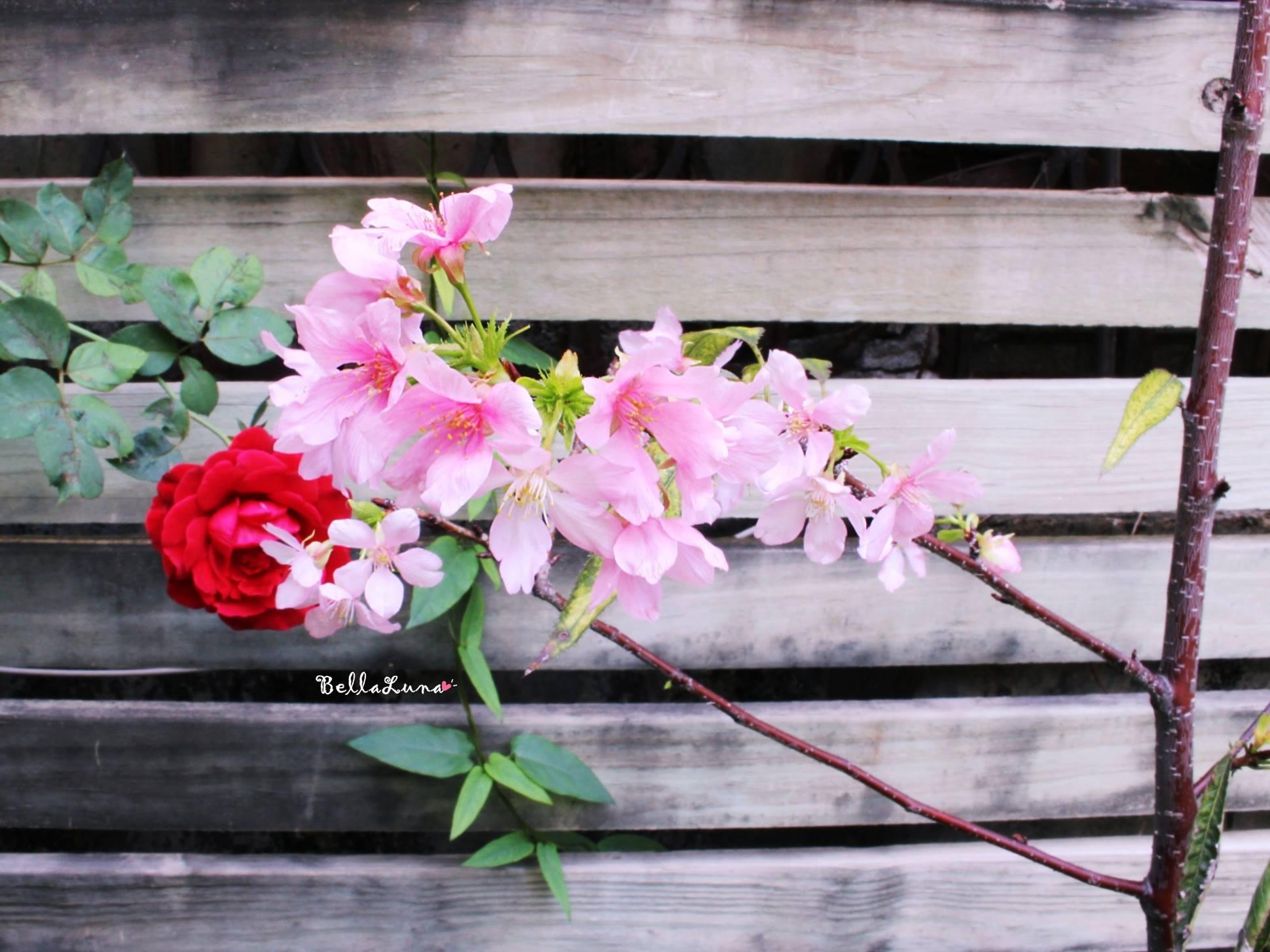 櫻花 2.jpg