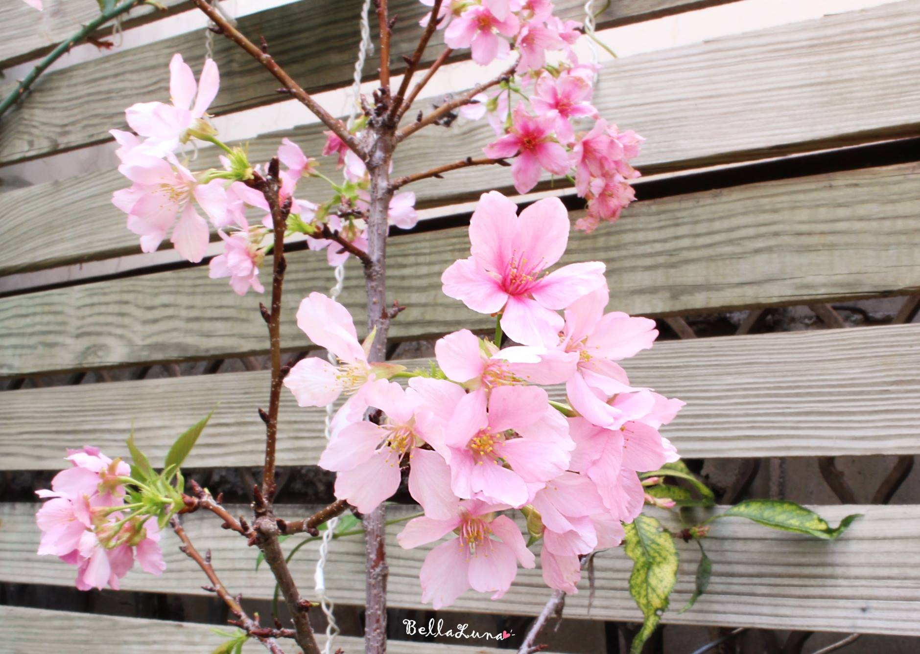 櫻花 1.jpg