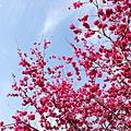台中大坑濁水巷櫻花森林