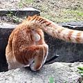 [貓] 橘斑弟弟