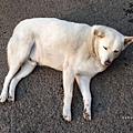 [狗] 懶懶君