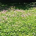 紫花酢漿草